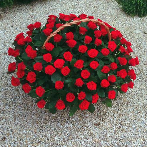 101 krasnaya roza v korzine